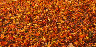 Autumn carpet Royalty Free Stock Image