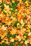 Autumn carpet. Fallen leaves of the maple. Green grass Royalty Free Stock Images