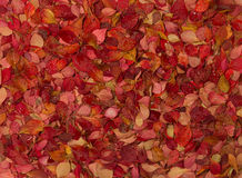 Autumn carpet of colorful leaves on the ground in the park. Royalty Free Stock Photography