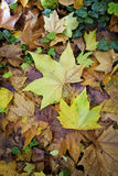 Autumn carpet of multicolor leaves Royalty Free Stock Photography