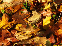 Autumn carpet red. Yellow & brown fall maple leaves on green grass, autumn background Royalty Free Stock Photos