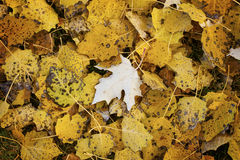 Autumn carpet of yellow leaves Royalty Free Stock Images