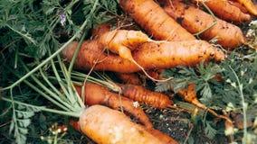 Autumn carrot harvest in your own garden. 1 stock video
