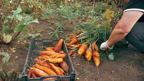 Autumn carrot harvest in your own garden. 1 stock video footage