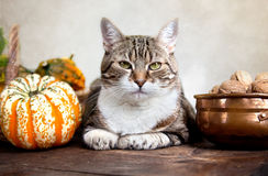Autumn Cat Royalty Free Stock Photography