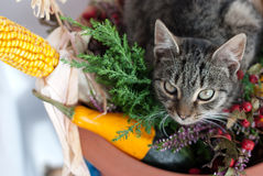 Autumn cat Royalty Free Stock Photos