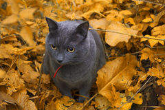 Autumn Cat Royaltyfria Bilder