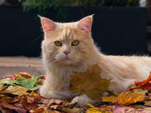 Autumn Cat. Cat posing with autumn leaves Stock Image