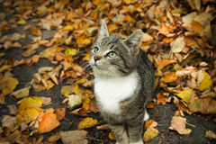 Autumn cat. Young grey cat in leafs stock images