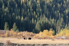 Autumn cattles stock photo
