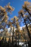 Autumn cedar under blue sky. Royalty Free Stock Photo