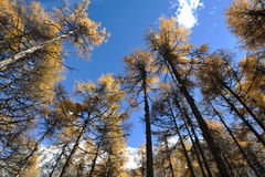 Autumn cedar under blue sky. Stock Photo