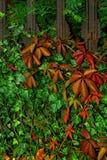 Autumn on cemetery. Rusty fence  on cemetery overgrown ivy- berry Stock Photos