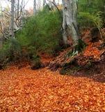 Autumn centenary beech tree in fall golden leaves Royalty Free Stock Photos