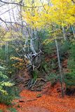 Autumn centenary beech tree in fall golden leaves Stock Images