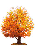 Autumn cherry tree illustration Royalty Free Stock Photos