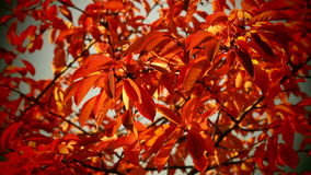 Autumn cherry tree leaves Royalty Free Stock Photography