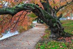 Autumn Cherry Tree Potomac Tidal Basin-Washington DC Royalty-vrije Stock Fotografie