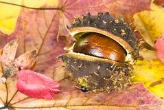 Autumn chestnut. Arranged on maple leaves Royalty Free Stock Photo