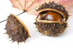 Autumn chestnut Royalty Free Stock Images