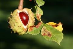 Autumn chestnut Royalty Free Stock Photography
