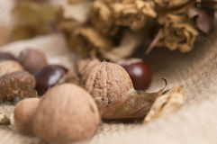 Autumn, chestnut and acorn nuts Royalty Free Stock Image