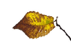 Autumn chestnut leaf backlit. Leaf from a chestnut tree just turning golden colour before falling royalty free stock images