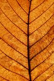 Autumn chestnut leaf surface. Close up Royalty Free Stock Photography