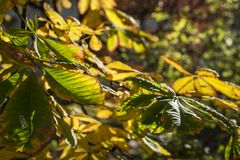 Autumn chestnut leafs Royalty Free Stock Photo