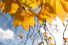Autumn chestnut leaves against sky Stock Photos