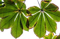 Autumn chestnut leaves Royalty Free Stock Photography