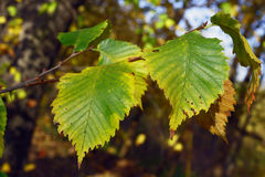 Autumn chestnut leaves Royalty Free Stock Images