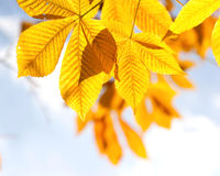 Autumn chestnut leaves in sunlight Royalty Free Stock Photo