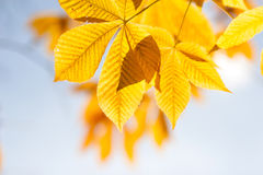 Autumn chestnut leaves in sunshine Stock Image