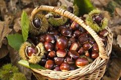 Autumn chestnut mood Stock Photos