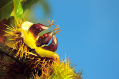 Autumn: chestnut with open shell and two ladybirds Royalty Free Stock Photography