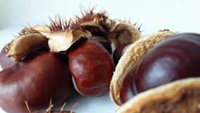 Autumn chestnut spike plant common medicine close-up. Autumn chestnut spike plant common fruit medicine season seed shell spiny white brown close-up Royalty Free Stock Images