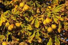 Autumn chestnut tree Stock Photography