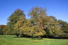 Autumn chestnut tree Stock Photo