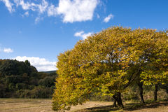 Autumn chestnut tree Stock Photos