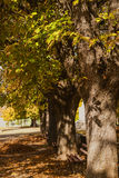 Autumn chestnut trees row benches Royalty Free Stock Photo