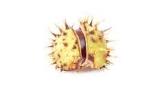 Autumn chestnut on a white. Stock Photos