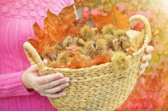 Autumn chestnuts and leaves Royalty Free Stock Image