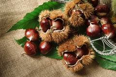 Autumn chestnuts on table. Autumn chestnuts with green leaves on table Royalty Free Stock Photography