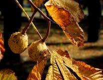 Autumn chestnuts. Royalty Free Stock Photo