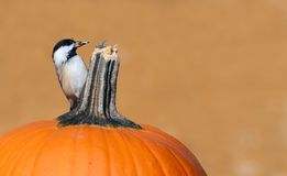 Autumn chickadee. Royalty Free Stock Photo