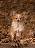 Autumn Chihuahua Royalty Free Stock Photos