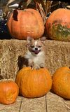 Autumn chihuahuhua stock image