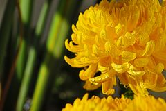 Autumn chrysanthemum royalty free stock images