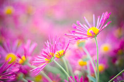 Autumn chrysanthemum. Summer bouquet of chrysanthemums on a pink background royalty free stock images